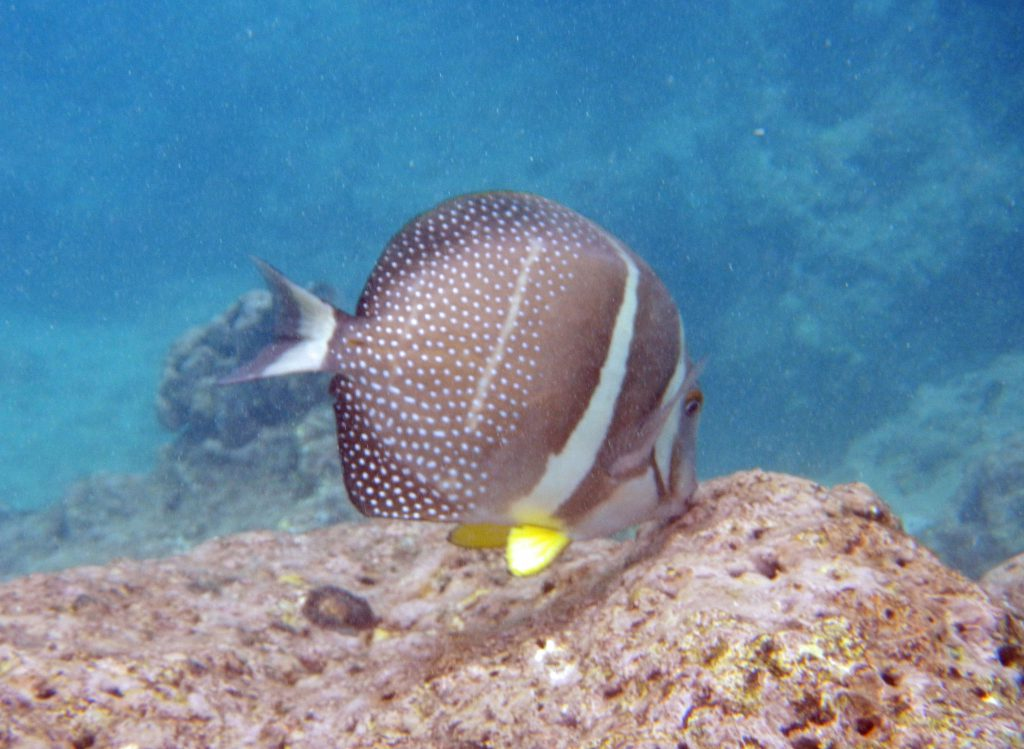 Surgeonfish at Hanauma Bay